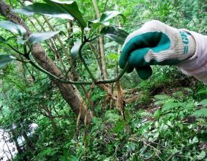 アオキは枝の途中からでも根を出すほど。良く増える