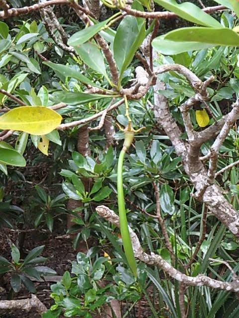 マングローブ 種子