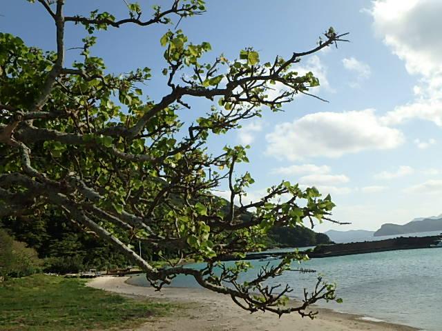 デイゴ 花 加計呂麻島