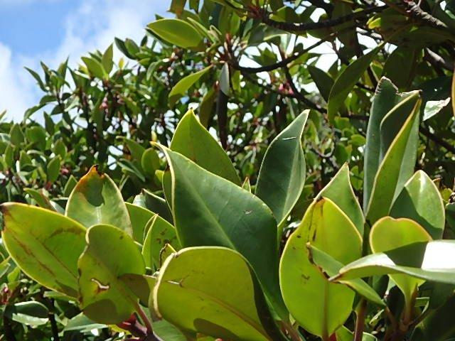 マングローブ 葉
