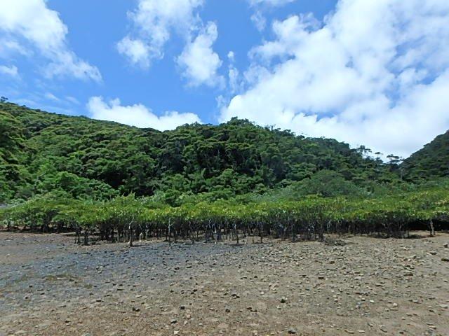 マングローブ林 奄美 加計呂麻島