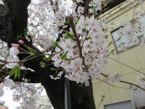 旧病院跡地桜②