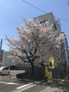 tate旧病院跡地桜